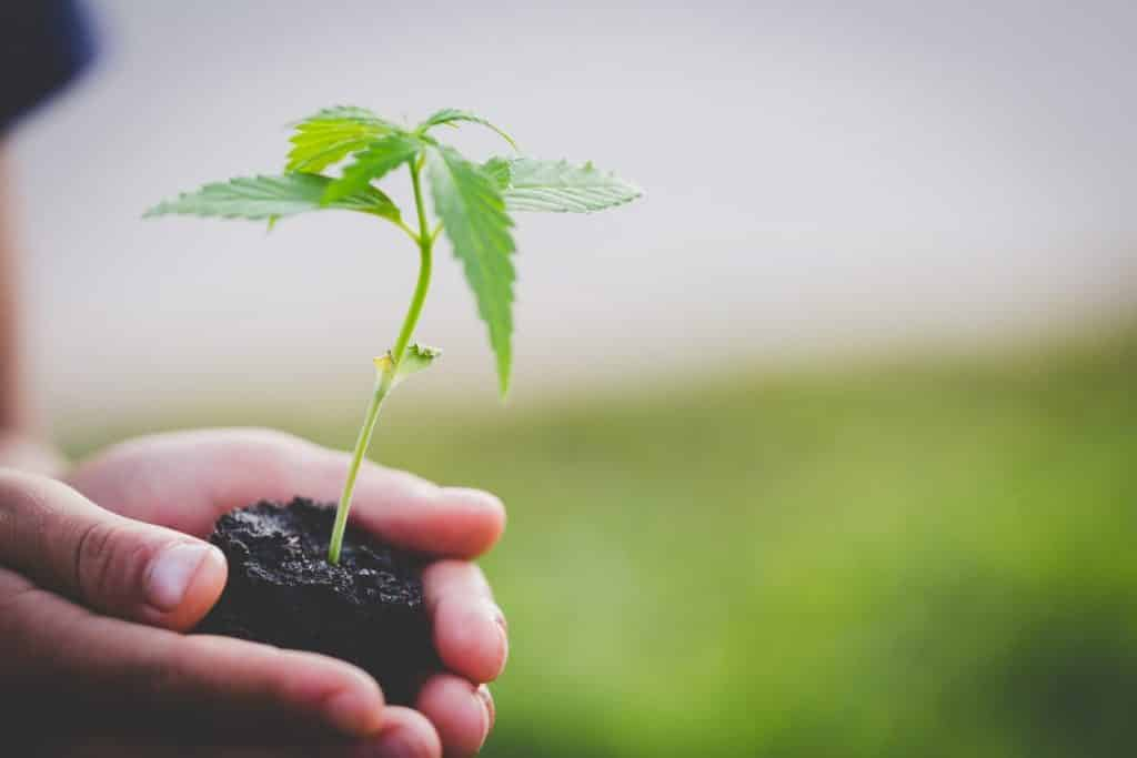 hands-holding-cannabis-plant-in-soil